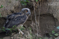 nocturnal... Eurasian Eagle Owl *Bubo bubo*