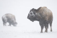 during a blizzard... American Bisons *Bison bison*