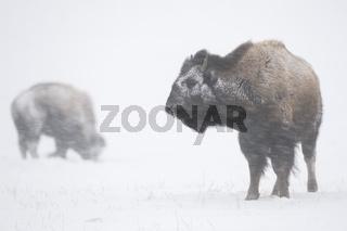 hart im Nehmen... Amerikanischer Bison *Bison bison*