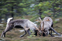 Reindeer / Mountain Reindeer / Norwegian Reindeer / Northern Reindeer / Reindeer fighting
