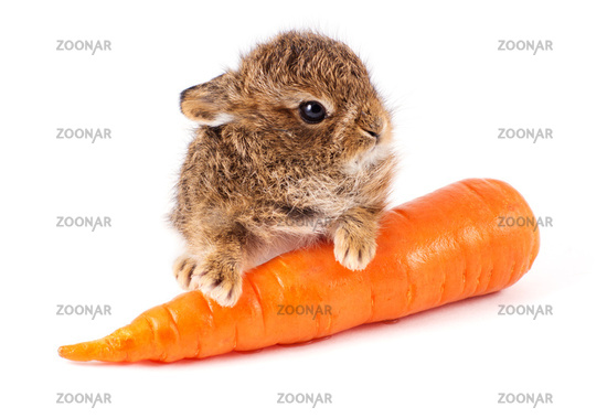 Wild rabbit with carrot