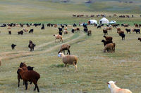 Yurt Camp and herd of sheeps at Song Kol Lake, Central Kyryzstan