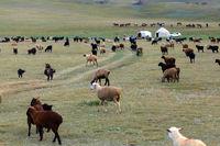 Yurt Camp and herd of sheeps at Song Kol Lake, Central Kyryzstan
