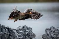 Flying wild goose