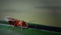 Königin der kahlrückigen Waldameise, Formica cf. p