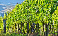 Vineyard near the city of Montalcino