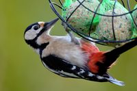 great spotted woodpecker with fat balls