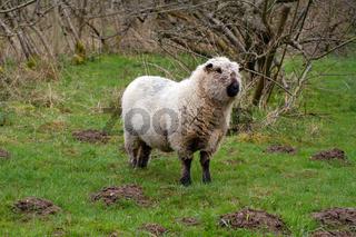 Schaf in Deutschland