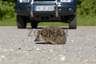 Igel Verkehrsopfer, hedgehog the toll of the road