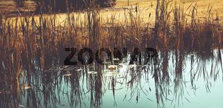 Seerosen am Ufer eines Teiches in herbstlichen, warmen Farben.