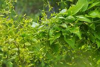 Kaukasische Yams, Dioscorea caucasica - Yam, Dioscorea caucasica plant in summer