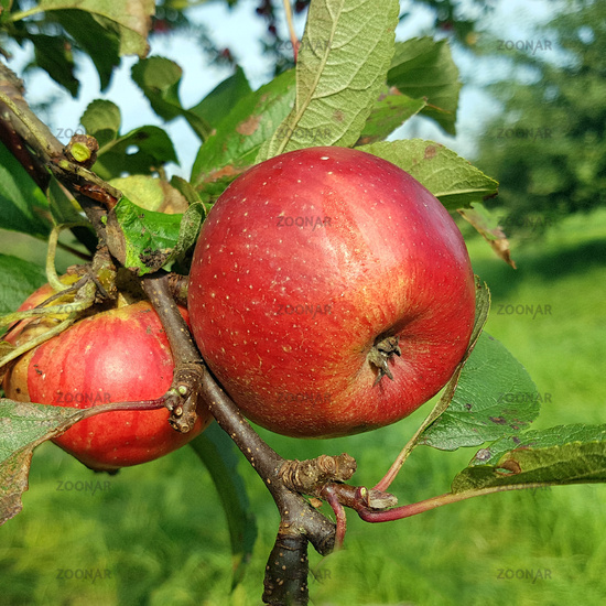 Moorroter, Apfel, Malus, domestica, Alte Apfelsorten