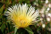 Miitagsblume im West Coast Nationalpark, Postberg Sektion, Südafrika, suurvy at West Coast National Park, Postberg sector, South Africa