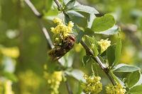 Hornisse, Vespa crabro auf Blüten von Gewöhnliche Berberitze, Berberis vulgaris