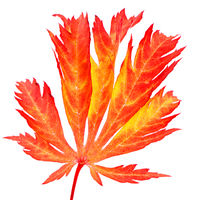 Isolated red leaf of a japanese maple tree
