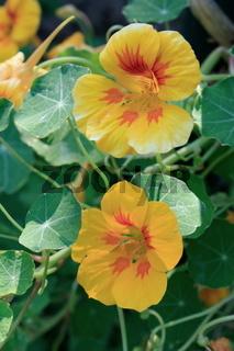 Kapuzinerkresse, blüten, gelb