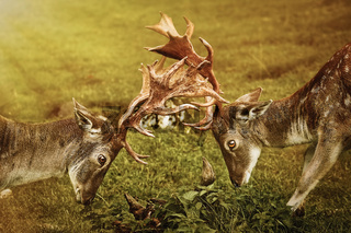 Closeup of Deer Fight