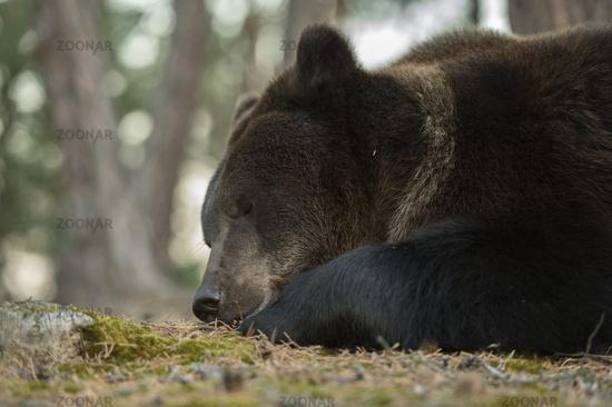 sweet dreams... European Brown Bear *Ursus arctos*
