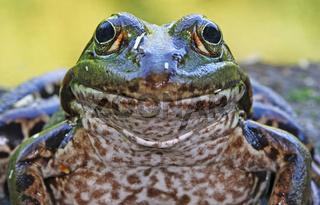 Frosch, Wasserfrosch