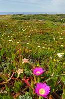 Pink and white flowers (Carpobrotus).