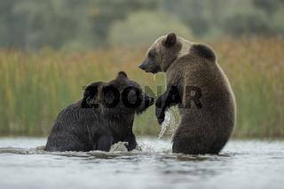 Rangeleien... Europäische Braunbären *Ursus arctos*
