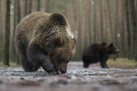 from a low point of view... European Brown Bears *Ursus arctos*