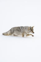 walking through snow... Coyote *Canis latrans*
