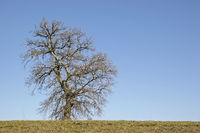Deciduous tree in the Tuscan countryside