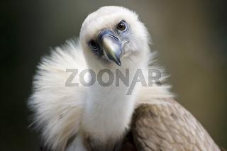 Gaensegeier (Gyps fulvus), Bayern, Griffon Vulture, Bavaria