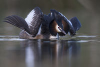 courting, cat display... Great Crested Grebe *Podiceps cristatus*