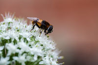 onion flower with bee closeup