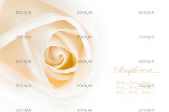 close-up of white rose, macro