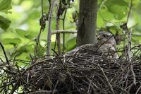 gathering its chicks... Sparrowhawk *Accipiter nisus*