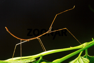 Stick mantis, Aarey Milk Colony ,INDIA