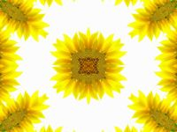 Abstract pattern of sunflower