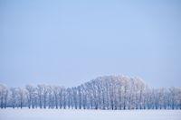 Forest belt of poplar trees under hoarfrost in snow field in winter season
