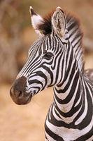 Young plains zebra, Kruger NP, South Africa