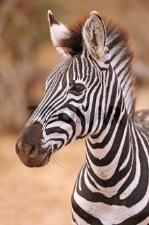 Steppenzebra, Südafrika, Kruger Nationalpark, South Africa, Plains Zebra, Perissodactyla, Equus quagga