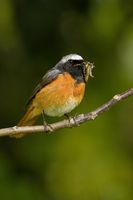 Common Redstart male