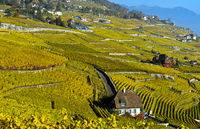 Autumn colours in the Lavaux vineyards, Rivaz, Lavaux, Vaud, Switzerland