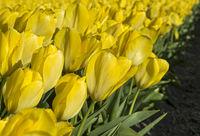 Blühendes Tulpenenfeld gelber Tulpen in der Blumenzwiebelregion Bollenstreek
