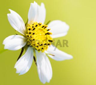white chamomile on yellow background