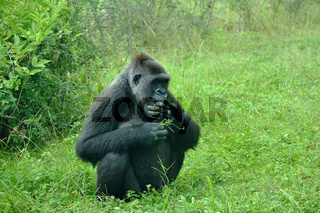 Gorilla im Zoologischen Garten Wilhelma in Stuttgart