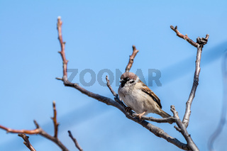 Sparrow on the branch. Sunny day. Blue sky. Beautiful early spring day.