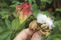 Baumwollbluete und Frucht, Cotton