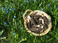 Punnet with fresh black morels in meadow in spring