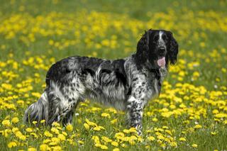 Grosser Muensterlaender, Ruede, Canis lupus f. familiaris, Large Munsterlander, male dog