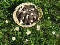 Punnet with fresh black morels near daisies