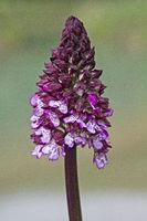 Flower of Orchis purpurea