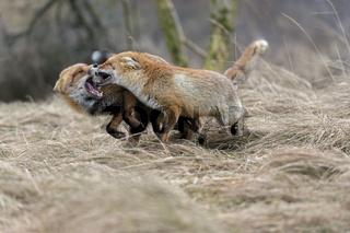 Zwist... Rotfüchse *Vulpes vulpes*